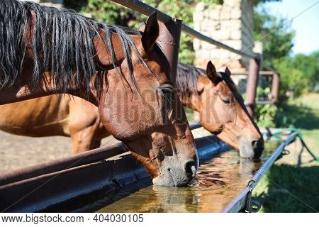 Chestnut Horses Drinking Water Outdoors On Sunny Day. Beautiful Pet