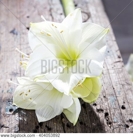 Bouquet Of White Lilies On A Beige Wooden Bench. Square Frame