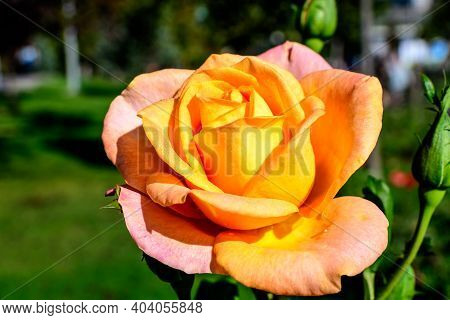 One Large And Delicate Vivid Orange Rose In Full Bloom In A Summer Garden, In Direct Sunlight, With