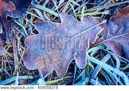 Oak leaf and green grass in hoarfost on ground