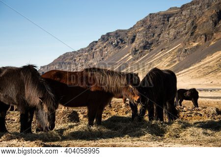 Icelandic Horses In The Field Of Scenic Nature Landscape Of Iceland. The Icelandic Horse Is A Breed