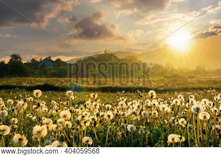 Dandelion Field In Rural Landscape At Sunset. Beautiful Nature Scenery With Blooming Weeds In Evenin