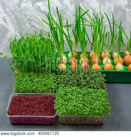 Microgreen Foliage Background. Close-up Of Microgreens. Germinating Seeds At Home. Vegan And Healthy