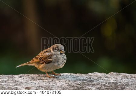 Bird Sparrow Male Perched On A Wall Outdoor With Daylight