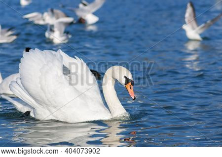 Snow-white Mute Swan (cygnus Olor) Swims In The Sea. Swans Are Very Graceful And Beautiful Monogamou