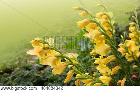 Beautiful Red And Yellow Gladiolus Flower In The Garden
