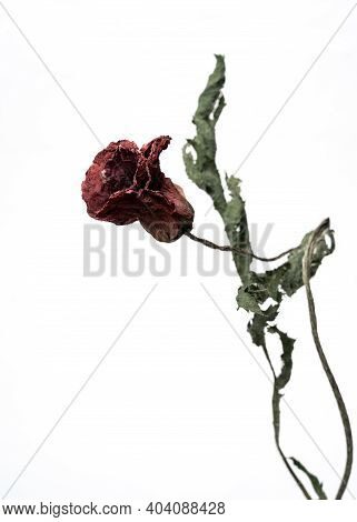 Dried Poppy. Isolated On A White Background Dry Flower With Crumpled Parts Of Dry Leaves And Petals