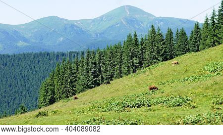 The Slopes Of The Carpathian Mountains And Cows Grazing On Them In Summer. And Hoverla In The Backgr