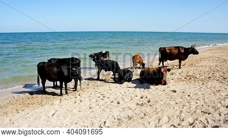 Cows Resting On The Beach On The Shores Of The Sea Of Azov. Coast Of The Sea Of Azov, Ukraine
