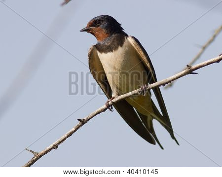 Barn Swallow sitting on a tree branch. poster