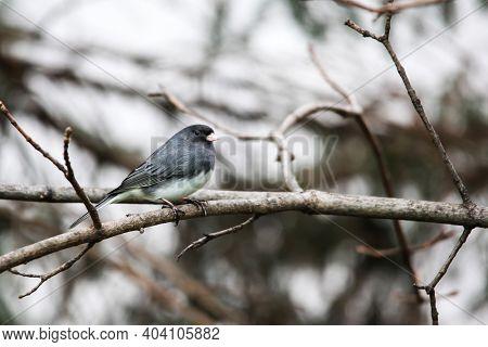 Dark-eyed Junco sitting on tree branch