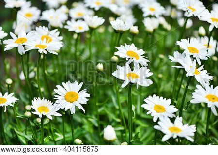 Chamomile Flower On A Green Meadow. Daisies, Dox-eye, Common Daisy, Dog Daisy, Moon Daisy. High Reso