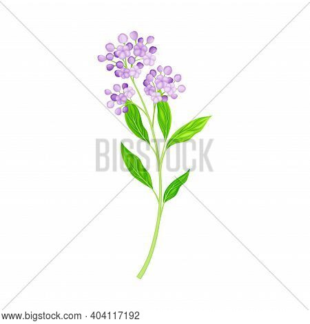 Flower Stem Or Stalk With Purple Florets As Meadow Or Field Plant Vector Illustration