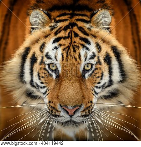 Close Up Tiger Portrait. Animal Looking On Camera. Danger Animal In Nature Habitat