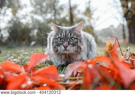 Cat With Big Green Eyes Looking Forward, Outdoors. Porter Of A Gray Fluffy Siberian Cat.