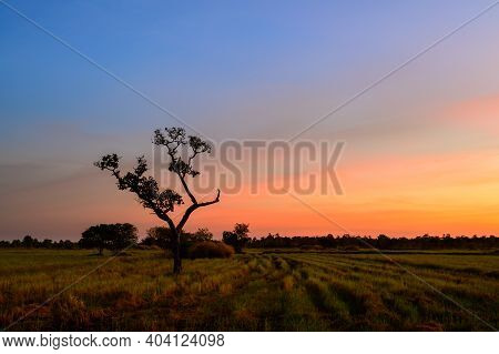 Tree Silhouette With Orange And Blue Sky In Rice Fields,against Sunset Background.