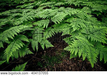 Scenic Natural Texture Of Many Fern Leaves. Beautiful Nature Background Of Vivid Green Ferns. Backdr