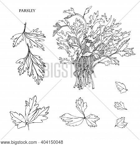 Parsley Sketch Illustration.detailed Hand Drawn Sketch.kitchen Herbal And Food Ingredient. Culinary