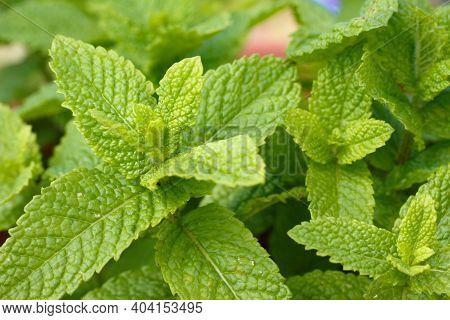 Peppermint Spearmint Or Garden Mint Plant Its Scientific Name Mentha Spicata