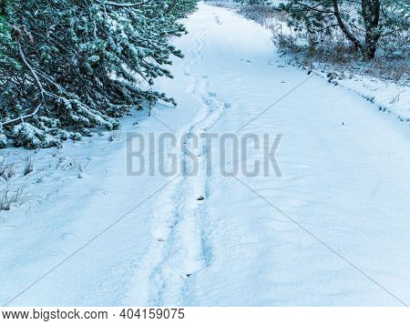 Footprints Of A Man Walking In The Snow Of A Winter Forest. Footprint Of A Man's Foot In The Snow. D