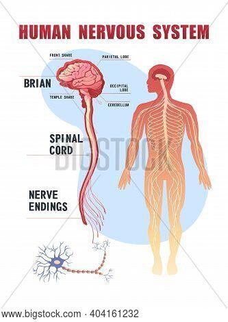 Human Peripheral Nervous System, Brain, Spinal Nerve Endings Vector Illustration Educational Banner