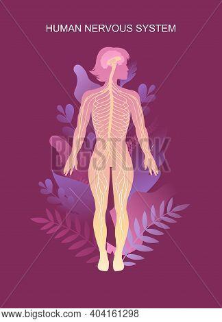Human Peripheral Nervous System, Brain, Spinal Nerve Endings Vector Illustration Educational Vertica