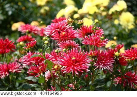 Summer Sunny Day. In A Botanical Garden The Collection A Dahlia Grows And Blossoms. Pink And Yellow
