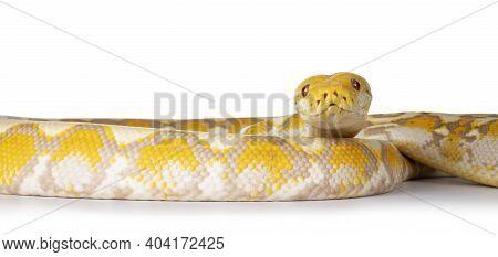 Lavender Albino Reticulated Python Aka Malayopython Reticulatus Snake. Isolated On White Background.