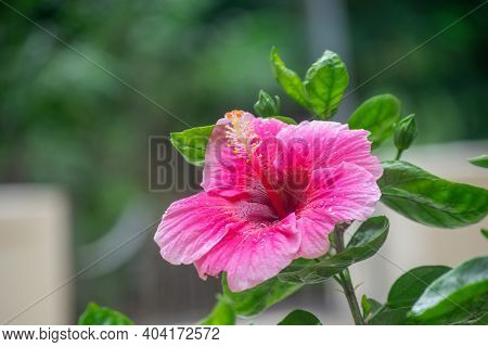 Pinkish Colored Flower Hibiscus Rosa-sinensis, Known As Chinese Hibiscus, China Rose, Hawaiian Hibis