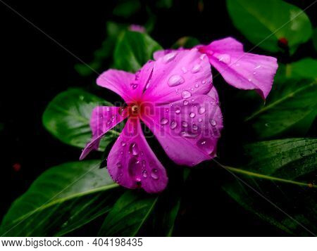 Beautiful Madagascar Periwinkle , Catharanthus Roseus, Commonly Known As Bright Eyes, Cape Periwinkl