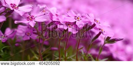 The Phlox Subulata Plentifully Blossoms In The Spring Small Pink Flowers.