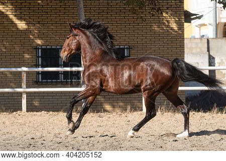 Young Brown Gelding Of The Lusitano Breed Galloping In Freedom