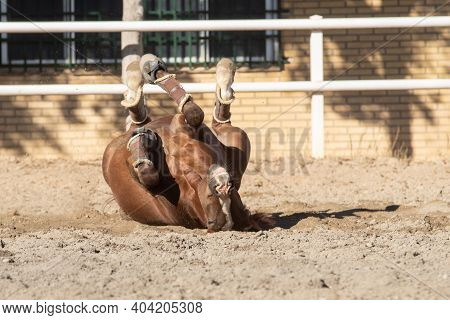 Happy Young Chestnut Mare Rolling In The Sand Belly Up