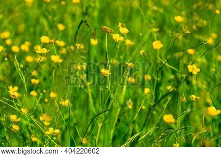 Ranunculus Acris - Meadow Buttercup, Tall Buttercup, Common Buttercup