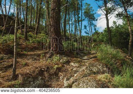 Rough Trail Passing Through Forest Over Steep Hill Covered By Rocks At The Serra Da Estrela. The Hig