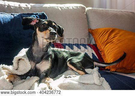 Cute Little Mutt Dog Standing On Couch From A House In São Manuel. A Little Town In The Brazilian Co