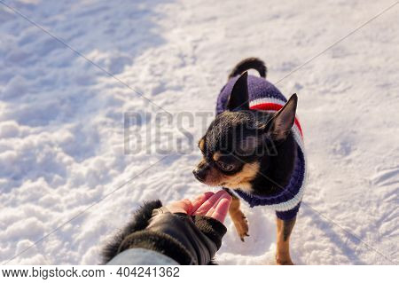 Chihuahua Walking In The Snow. Chihuahua In Winter Clothes On A Background Of Snow. Chihuahua.
