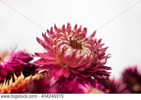 Pink And Red Flowers Of Xerochrysum Bracteatum (helichrysum Bracteatum) On A White Background. Backg