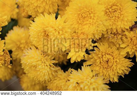 Autumn Chrysanthemum Flowers Grow In The Fresh Air