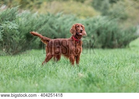 Red Irish Setter Dog Is Standing On Green Grass At Summer Nature