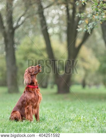 Red Irish Setter Sitting On Green Grass At Nature Listening To Command
