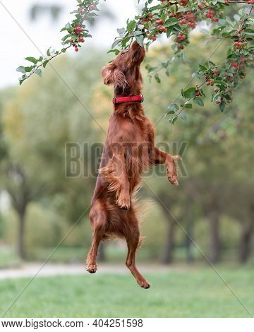 Red Irish Setter Dog Is Jumping To Pick Up Small Apples From The Tree In Park. Outdoors Activity Gam