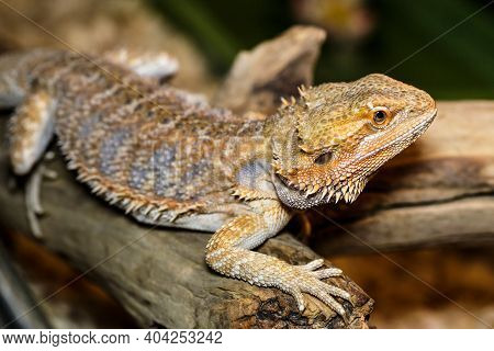 Portrait Macro Photo Of A Female Bearded Dragon In Its Terrarium.lizards Are A Widespread Group Of S