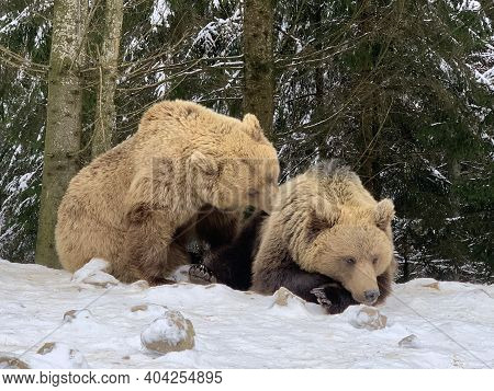 Two Bears In The Snow In The Forest. Brown Bears Play Together. Rehabilitation Center For Brown Bear