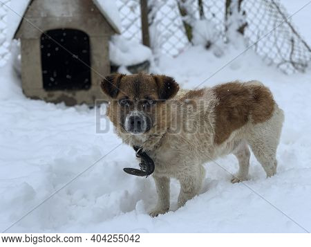 A Dog On A Chain In The Snow Near The Booth. In The Yard There Is A Mongrel On A Leash. Pet On The B