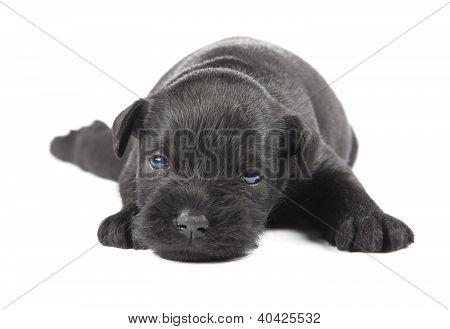 Miniature Schnauzer Black Puppy