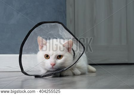 White Cat With A Collar Made Of Transparent Plastic. The Collar Protects The Cats Sharp Teeth.