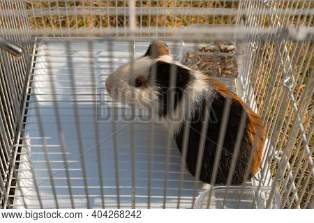 Angle View Cute Cavy In A Cage