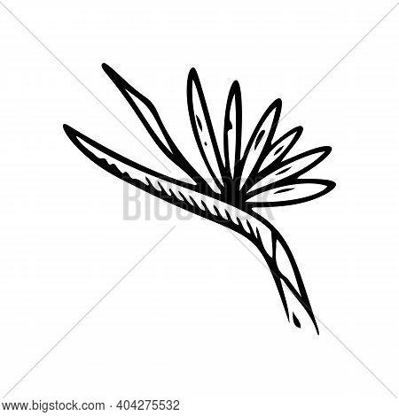 Heliconia Flower Outline. Strelitzia Line Art Vector Illustration Isolated On White Background. Stre