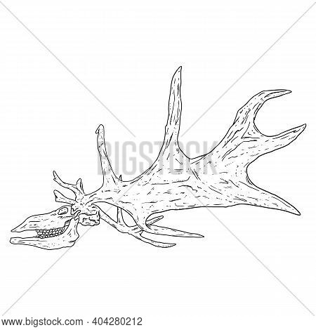 Deer Fossilized Skull And Antlers Hand Drawn Sketch Image. Horned Artiodactyl Animal Bones Fossil Il
